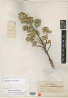 Isotype of Baccharis papillosa Rusby [family ASTERACEAE]