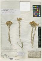 Isotype of Bigelowia greenei A. Gray [family ASTERACEAE]