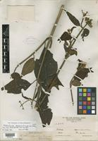 Holotype of Eupatorium phoenicticum B. L. Rob. [family ASTERACEAE]