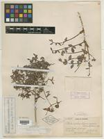 Isotype of Philadelphus occidentalis A. Nelson [family HYDRANGEACEAE]