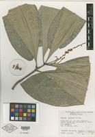 Isotype of Decazyx esparzae F. Chiang [family RUTACEAE]