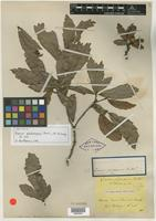 Isotype of Quercus glabrescens Benth. [family FAGACEAE]