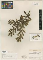 Isotype of Croton ichthygaster L. B. Sm. & Downs [family EUPHORBIACEAE]