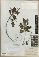 Isotype of Justicia anabasa Leonard [family ACANTHACEAE]