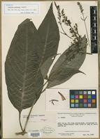 Isotype of Justicia wurdackii Leonard [family ACANTHACEAE]
