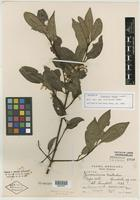 Isotype of Zinowiewia matudai Lundell [family CELASTRACEAE]