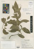 Isotype of Neea flavifolia Lundell [family NYCTAGINACEAE]