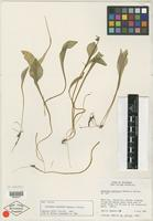 Isotype of Claytonia palustris Swanson & W. A. Kelley [family PORTULACACEAE]