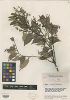 Type of Licania parviflora var. submembranacea Maguire [family CHRYSOBALANACEAE]