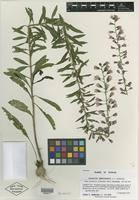 Isotype of Liatris gholsonii L. C. Anderson [family ASTERACEAE]