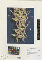 Holotype of Cycnoches cooperi var. villenae G. F. Carr & Agustin Prieto [family ORCHIDACEAE]