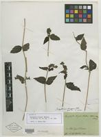 Isotype of Dysophylla strigosa Benth. [family LAMIACEAE]