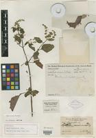 Holotype of Hyptis canaminensis Rusby [family LAMIACEAE]