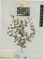 Syntype of Baptisia lecontei Torr. & A. Gray [family FABACEAE]