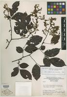 Isotype of Dalbergia grandistipula A. M. de Carvalho [family FABACEAE]