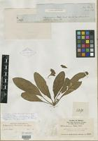 Isolectotype of Stenandrium pohlii var. breviscapum Nees [family ACANTHACEAE]