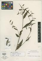 Isotype of Caperonia corchoroides Müll. Arg. [family EUPHORBIACEAE]