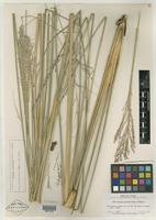 Isotype of Panicum petersonii Hitchc. & Ekman [family POACEAE]
