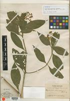 Isotype of Palicourea buchtienii Standl. [family RUBIACEAE]