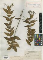 Holotype of Eupatorium bullescens B. L. Rob. [family ASTERACEAE]