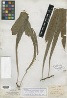 Isotype of Polypodium maculosum H. Christ [family PTERIDOPHYTE]