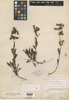 Holotype of Penstemon pseudoprocerus Rydb. [family SCROPHULARIACEAE]