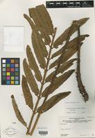 Holotype of Trichipteris cyclodium R. M. Tryon [family PTERIDOPHYTE]