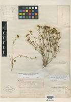 Holotype of Laphamia stansburii A. Gray [family ASTERACEAE]