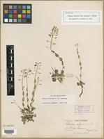 Isotype of Thlaspi alpestre var. glaucum A. Nelson [family BRASSICACEAE]