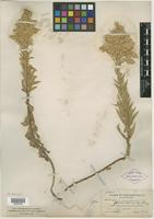 Holotype of Solidago canadensis var. gilvocanescens Rydb. [family ASTERACEAE]