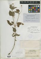 Isotype of Spilanthes arrayana Gardner [family ASTERACEAE]