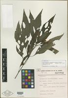 Isotype of Sericographis cyrthantheriformis var. robustior Rizzini [family ACANTHACEAE]