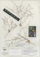 Isotype of Eriogonum deflexum var. nevadense Reveal [family POLYGONACEAE]