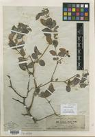 Isolectotype of Carissa richardiana Jaub. & Spach [family APOCYNACEAE]
