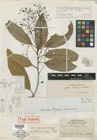 Isotype of Aydendron piauhyense Meisn. [family LAURACEAE]