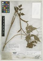 Type of Angelica curtisii Buckley [family APIACEAE]