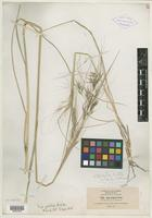 Isotype of Stipa pulchra Hitchc. [family POACEAE]