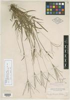 Isotype of Syntherisma helleri Nash [family POACEAE]