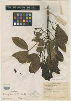 Isotype of Acronychia carrii T. G. Hartley [family RUTACEAE]