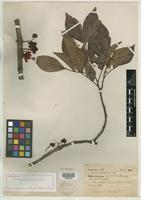 Holotype of Cassia solimoesensis H. S. Irwin [family CAESALPINIACEAE]