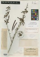Holotype of Peiranisia yucatensis Britton & Rose [family CAESALPINIACEAE]