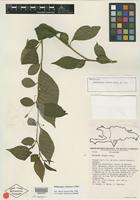 Holotype of Witheringia filipes Alain [family SOLANACEAE]