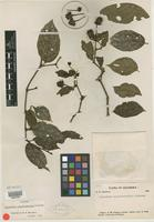 Isotype of Lycianthes novogranatensis Moldenke [family SOLANACEAE]