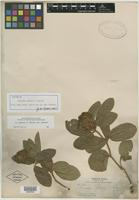 Isotype of Eriosema palmeri S. Watson [family FABACEAE]