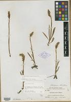 Lectotype of Gyrostachys stricta Rydb. [family ORCHIDACEAE]