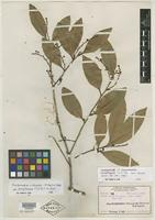 Type of Craibiodendron kwangtungense S. Y. Hu [family ERICACEAE]
