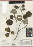 Holotype of Pariti tiliaceum var. greenwelliae O. Deg. & I. Deg. [family MALVACEAE]
