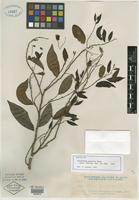 Isotype of Polyalthia pacifica Elmer [family ANNONACEAE]