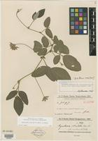 Isotype of Rhynchosia reticulata f. subumbellata Chodat & Hassl. [family FABACEAE]