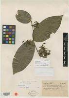 Isotype of Swartzia stipellata R. S. Cowan [family FABACEAE]